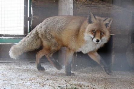 Четыре лисицы и шесть птиц из «Мишутки» переехали в нижегородский «Мадагаскар»