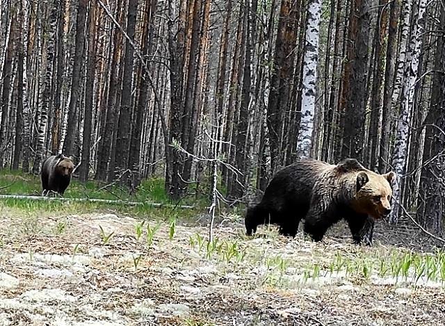 Медвежий поход попал в объектив фотоловушки в Керженском заповеднике - фото 1