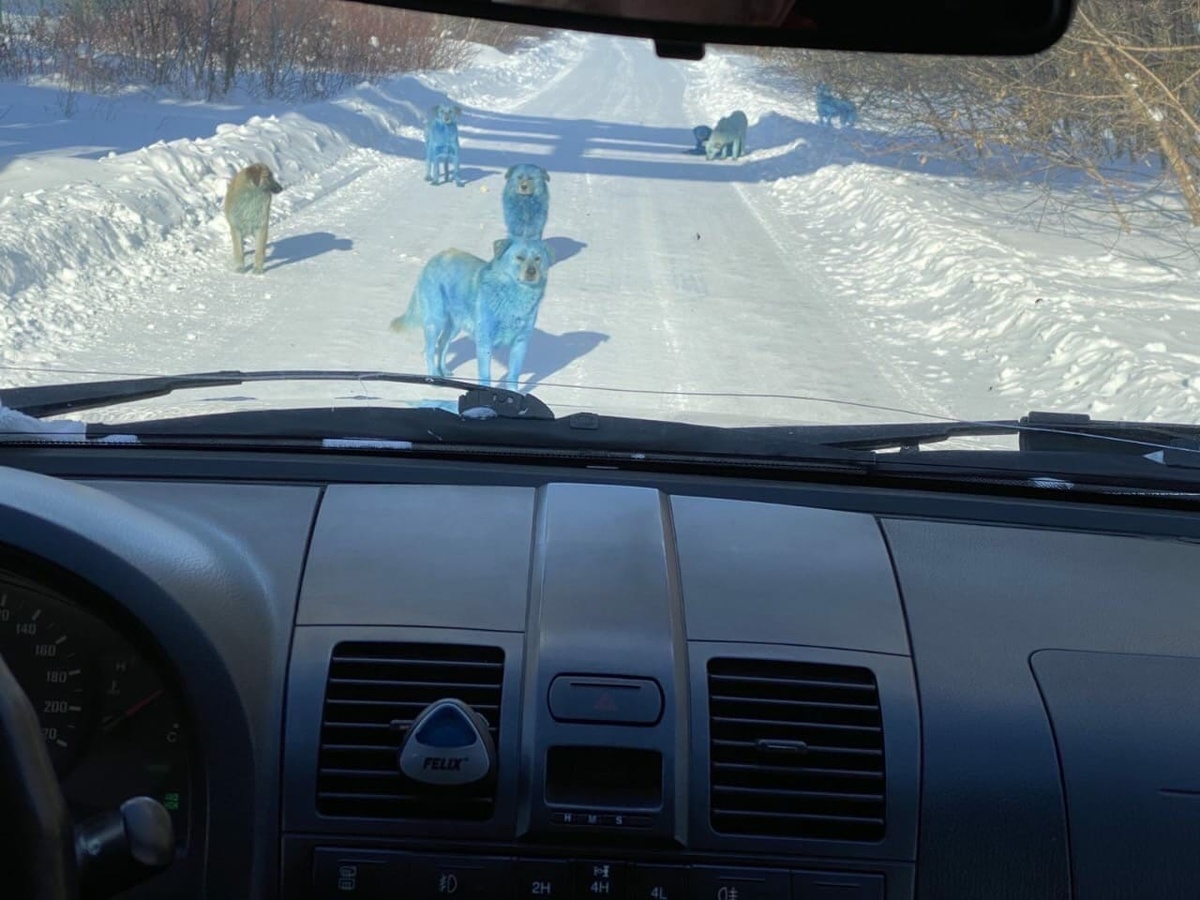 Управляющий «Дзержинского оргстекла» предположил, откуда взялись собаки голубого цвета - фото 1