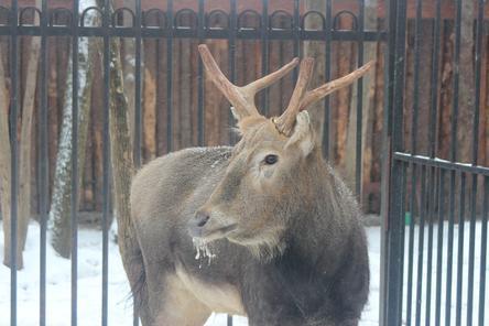 Зоопарк «Лимпопо» бесплатно получил оленя Давида из закрывшегося в Нижнем Новгороде «Мишутки»