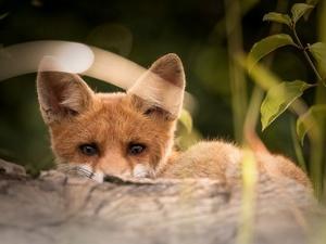 В Нижегородской области началось «нашествие» лисиц