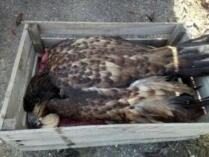 Нижегородский зоопарк ищет новый дом для подстреленного орлана
