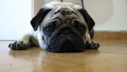 Восемь собак, которых можно завести даже в маленькой квартире