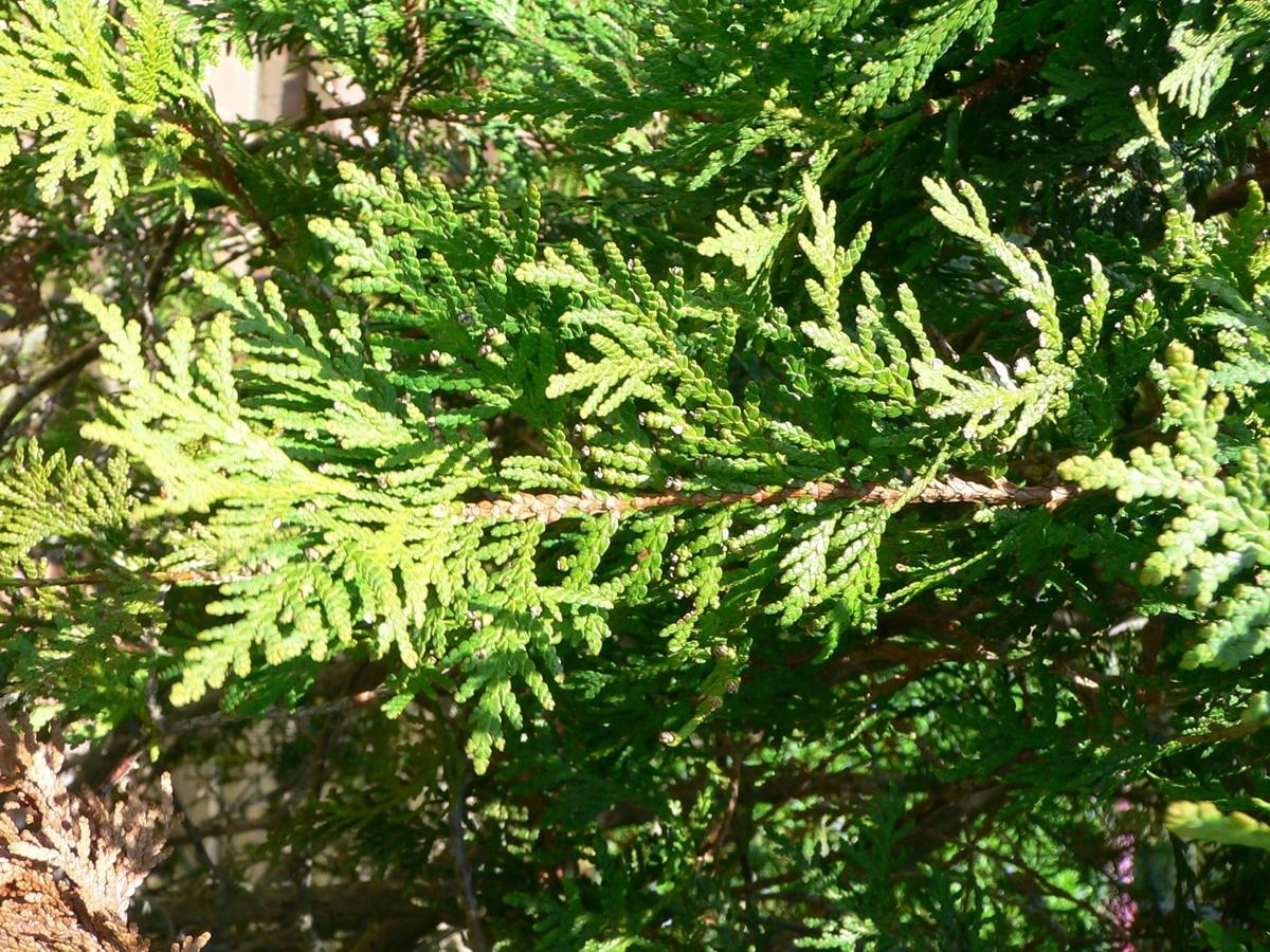 Восемь пород хвойных деревьев украсят парк «Швейцария» - фото 1